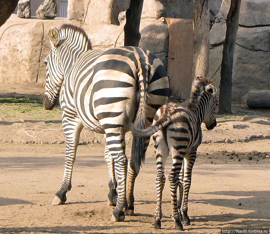 У зебры появился жеребенок, наверное совсем маленький