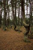 Танцующий лес. Куршская коса