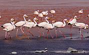 или любуясь желтоклювыми фламинго