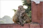 У входа в форт нас встретили обезьяны и навязчивые местные гиды. И те и другие очень неплохо имеют с многочисленных туристов, посещающих Красный форт. С этой шустрой парочкой мы еще пообщаемся более тесно на обратном пути. Ведь какая Индия без обезьян?