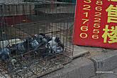 Уличные голуби на еду продаются