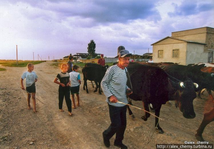 а вечером коровы приходят