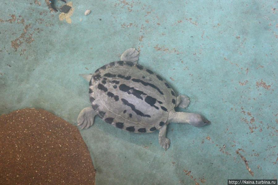 Змеиная черепаха — ее голова с шеей по длине равны телу под панцирем.