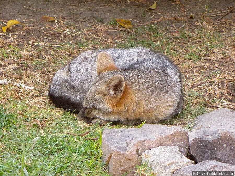 Спящий волк
