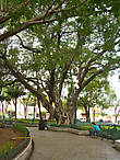 Вековые деревья в сквере