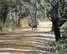 Иногда перед машиной дорогу переходят олени