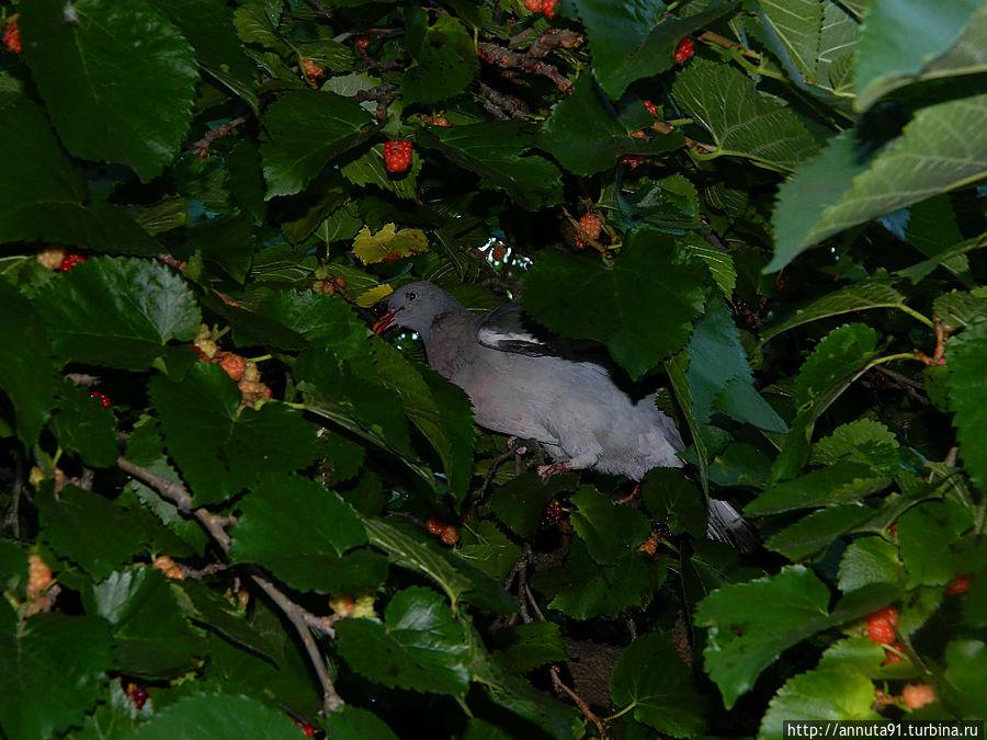 Голубь ест ягоды, внешне напоминающие малину, с дерева