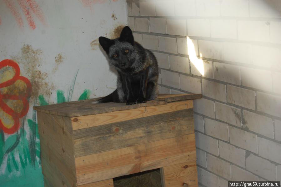 Чернобурая лисица