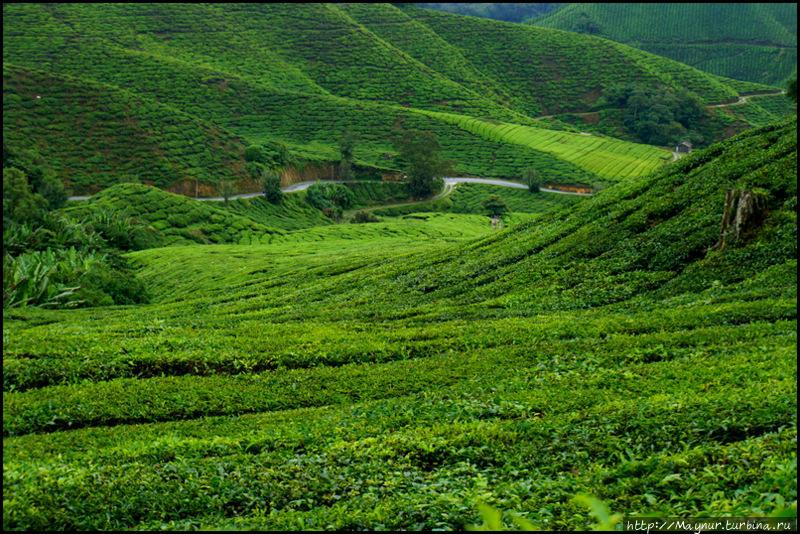 Про  чай,  клубнику,  моховой  лес  и   остальное... Танах-Рата, Малайзия