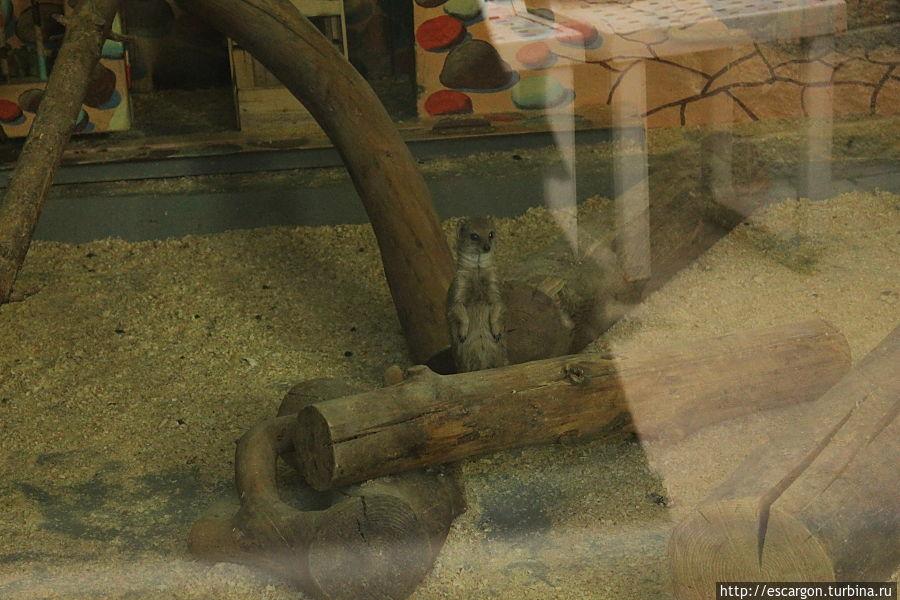 Африканский мангуст (Herpestes ichneumon)  Распространён в Северной Африке, Малой Азии и Юго-Западной Европе (Пиренейский полуостров); акклиматизирован в Югославии, Италии и на острове Мадагаскар. Полезен истреблением змей, но, вопреки распространённому мнению, восприимчив к их яду.