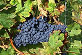 По дороге в Альбано-Лациале попробовали спелый виноград из знаменитых садов.