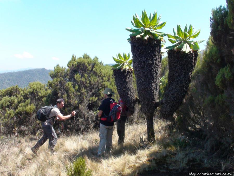 Гигантские крестовники Dendrosenecio Kilimanjari никого не оставляют равнодушными