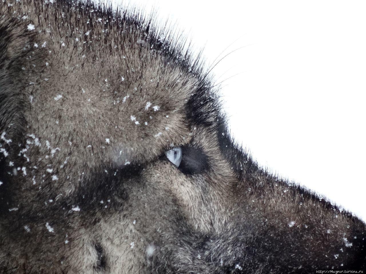 Ну, чем не волк? Порода в