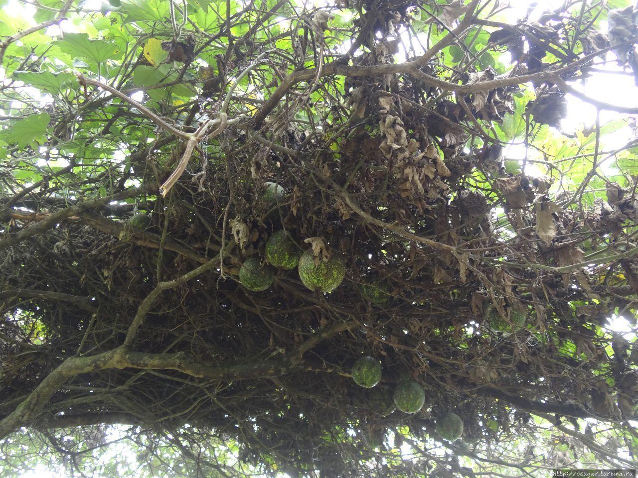 Дикие арбузы над тропой, несьедобные  из-за горечи. По словам гида, местные используют их для лечения кур от птичьего гриппа. Моши, Танзания