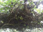 Дикие арбузы над тропой, несьедобные  из-за горечи. По словам гида, местные используют их для лечения кур от птичьего гриппа.