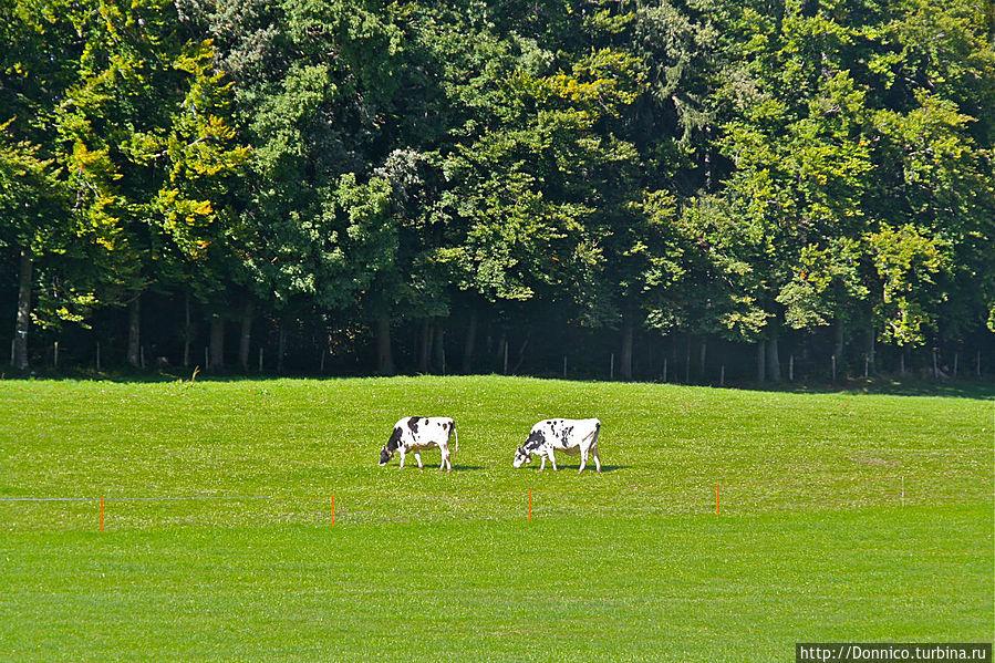а вот те самые рекламные швейцарские коровы, в процессе потребления тех самых рекламных альпийских трав — пасутся прямо перед фабрикой