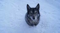 это шебутной пёс, он жил рядом с нашим домиком