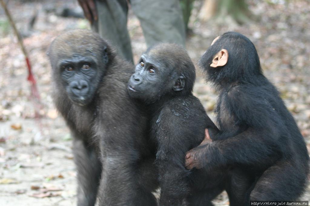 Есть гориллы или нет? Макоку, Габон