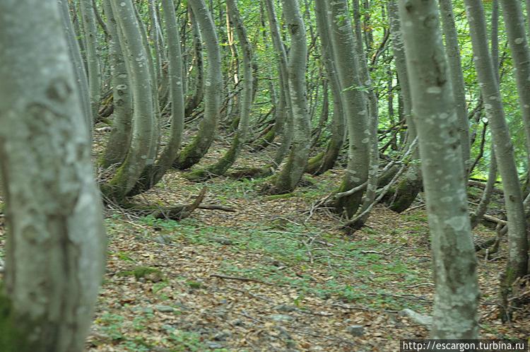 Буковый лес. <br /> by Констан