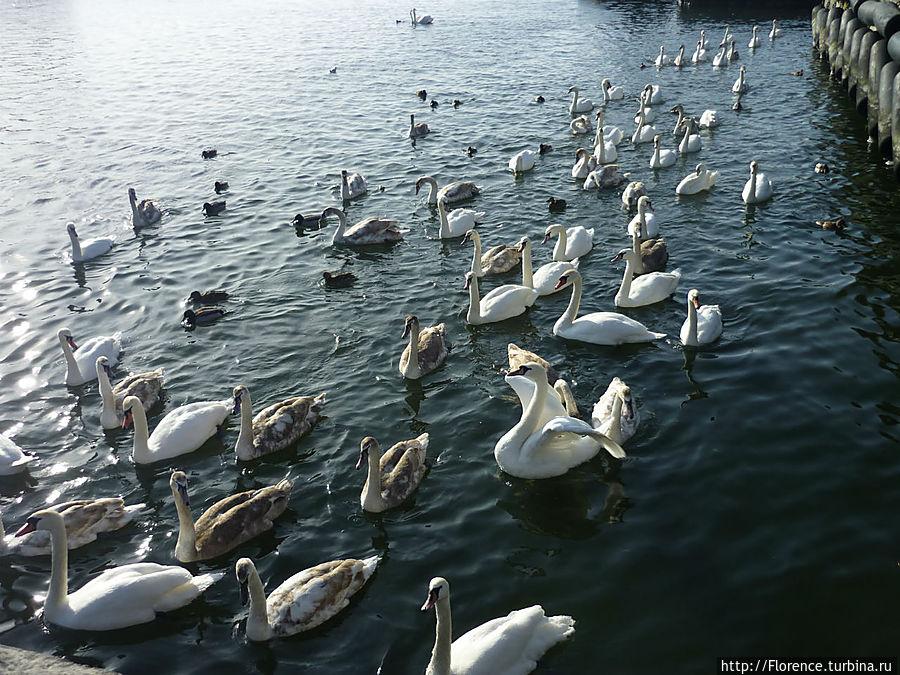 Лебеди Балтийска Балтийск, Россия