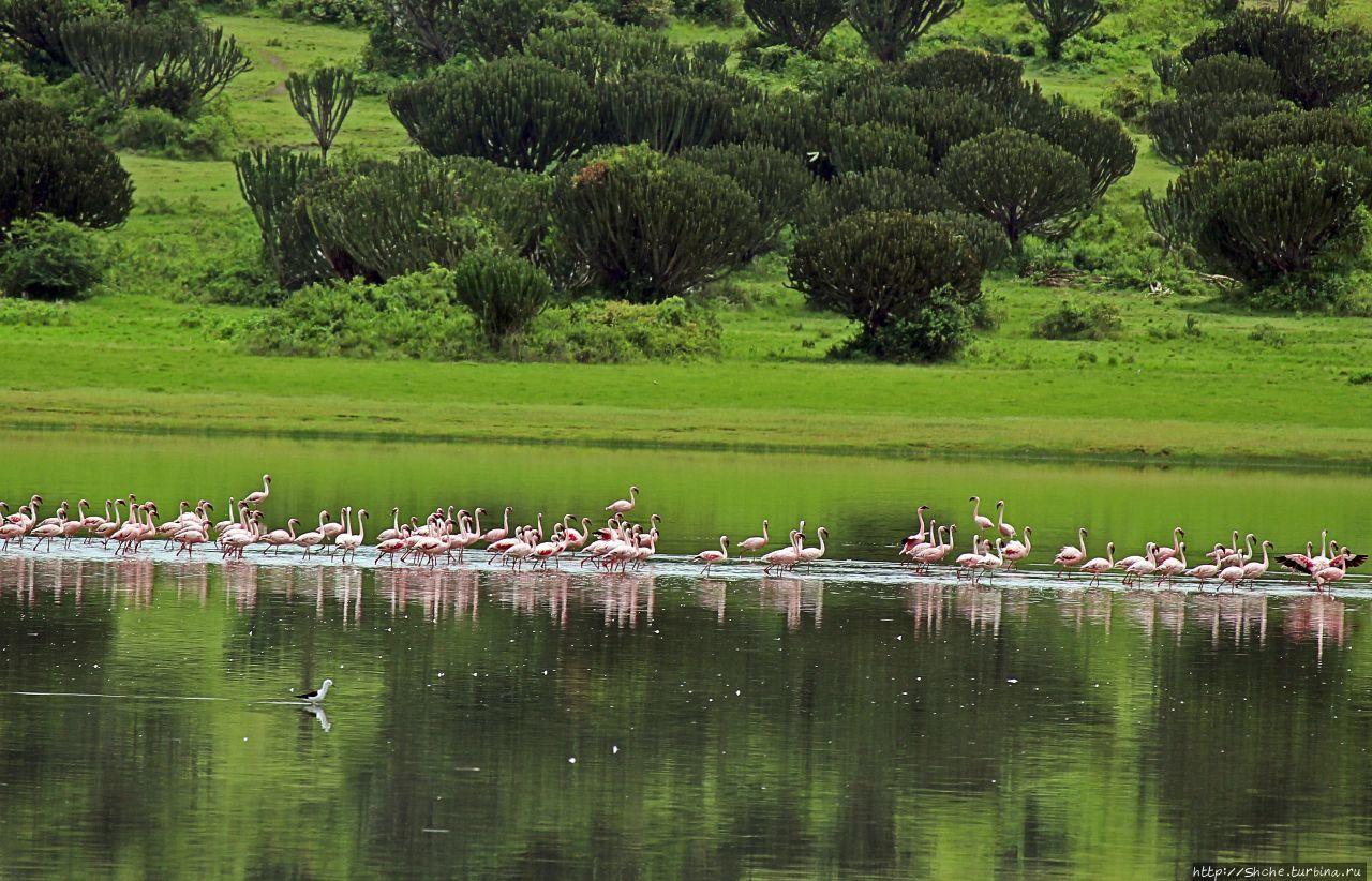 Розовые фламинго в заповеднике на озере Munyanyange