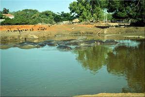 Бегемоты релаксируют в собственном пруду