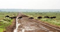 В декабре — январе в танзанийском Серенгети — столпотворение. Все животные мигрировали сюда из кенийского заповедника Масай Мары