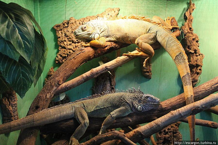 Зеленые игуаны ( Iguana iguana)