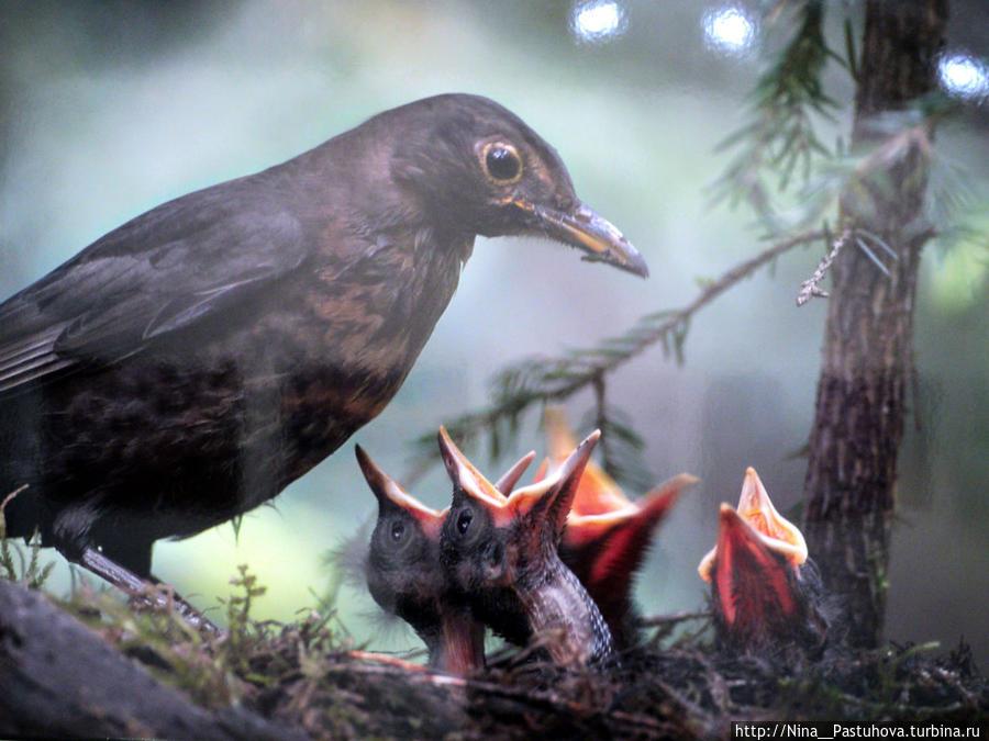 Чёрный дрозд выводит потомство в еловом лесу. А. Колотилин