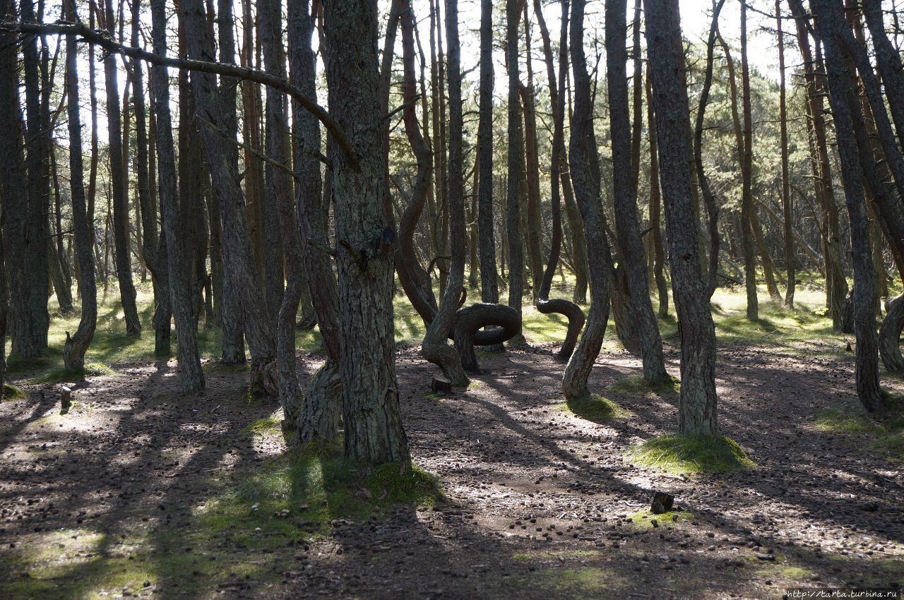«Танцующий» лес – необъяснимая аномалия или чудо природы?! Куршская Коса Национальный Парк, Россия