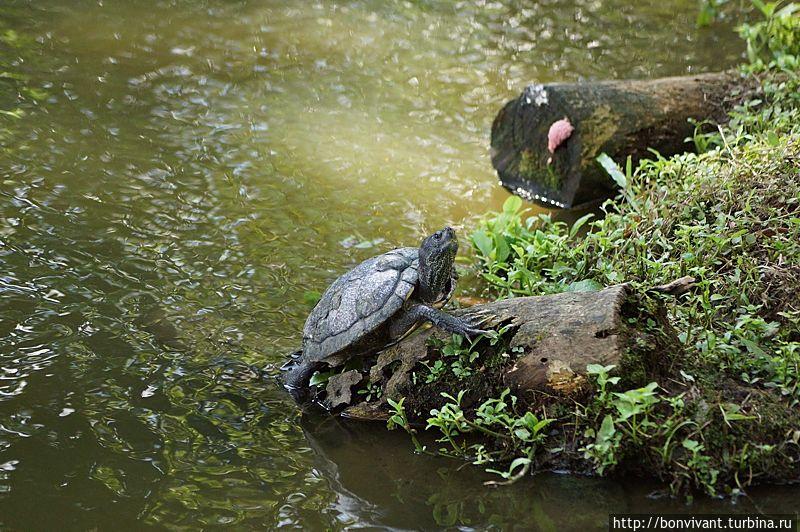 Черепахи красноухие места обитания