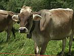 ...гуляют вот такие замечательные коровки!!