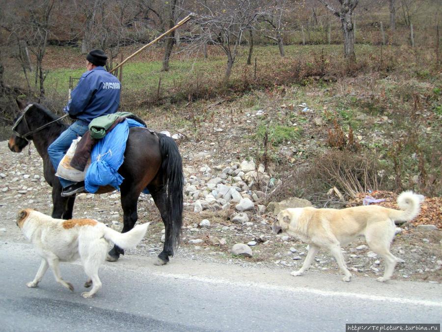 Грузинский пастух с собаками в горной Грузии