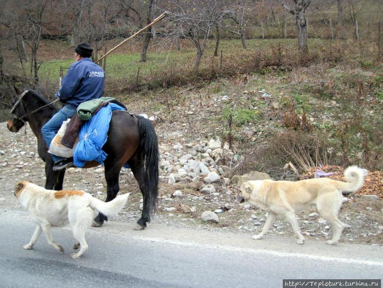 Грузинский пастух с собак