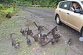 Толпа голодных коати с ходу атакует остановившуюся машину... Они как-будто знают, кто им еды даст, а кто нет.
