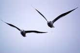 Чайки летят за лодкой, выискивают добычу из под винта мотора