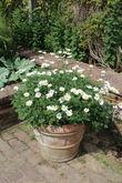 Кашпо и вазоны — моя излюбленная тема! Позволяют в одночасье изменить облик сада, да и в уходе просты.