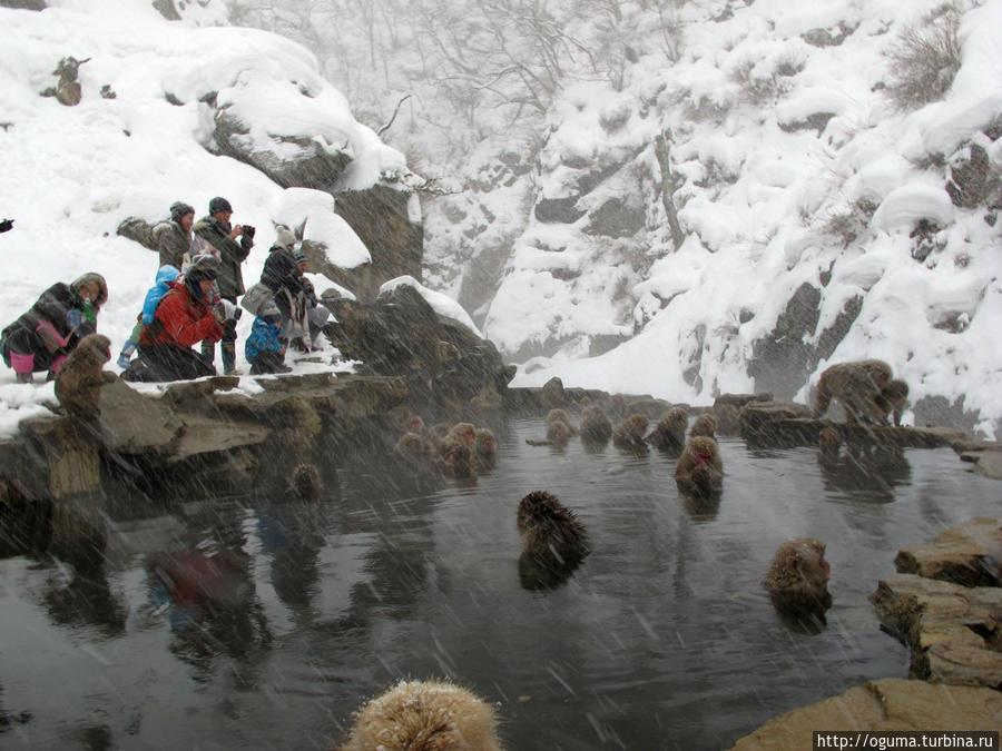 В гостях у снежных обезьян Нагано, Япония