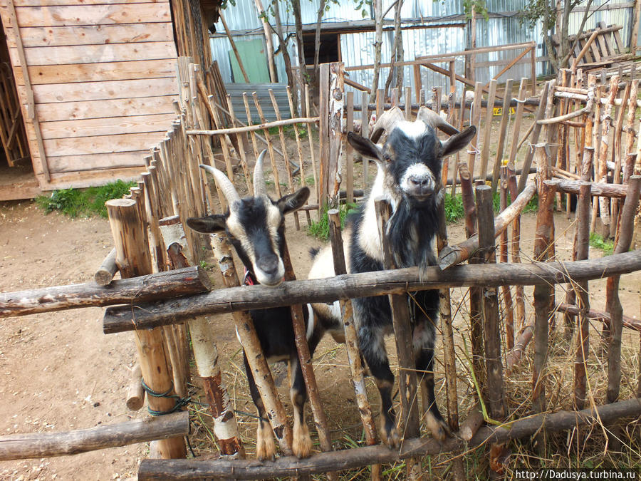 Мини-козел Яша и мини-коза Глаша