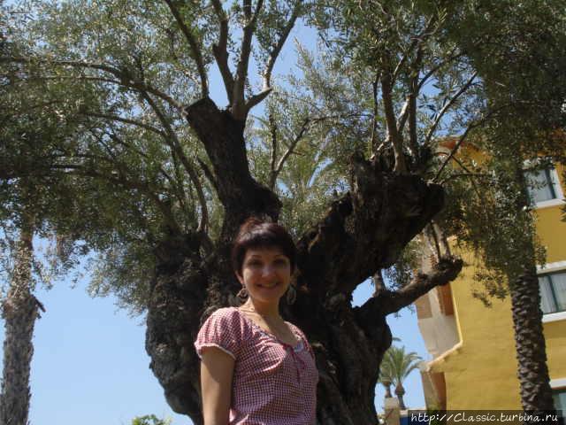 На фоне 2000 летнего оливкового дерева
