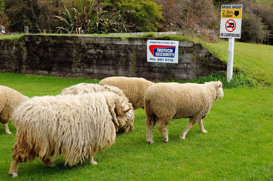 Овцы и овцебык :)