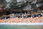 Элегантные мини-пингвины Гумбольта