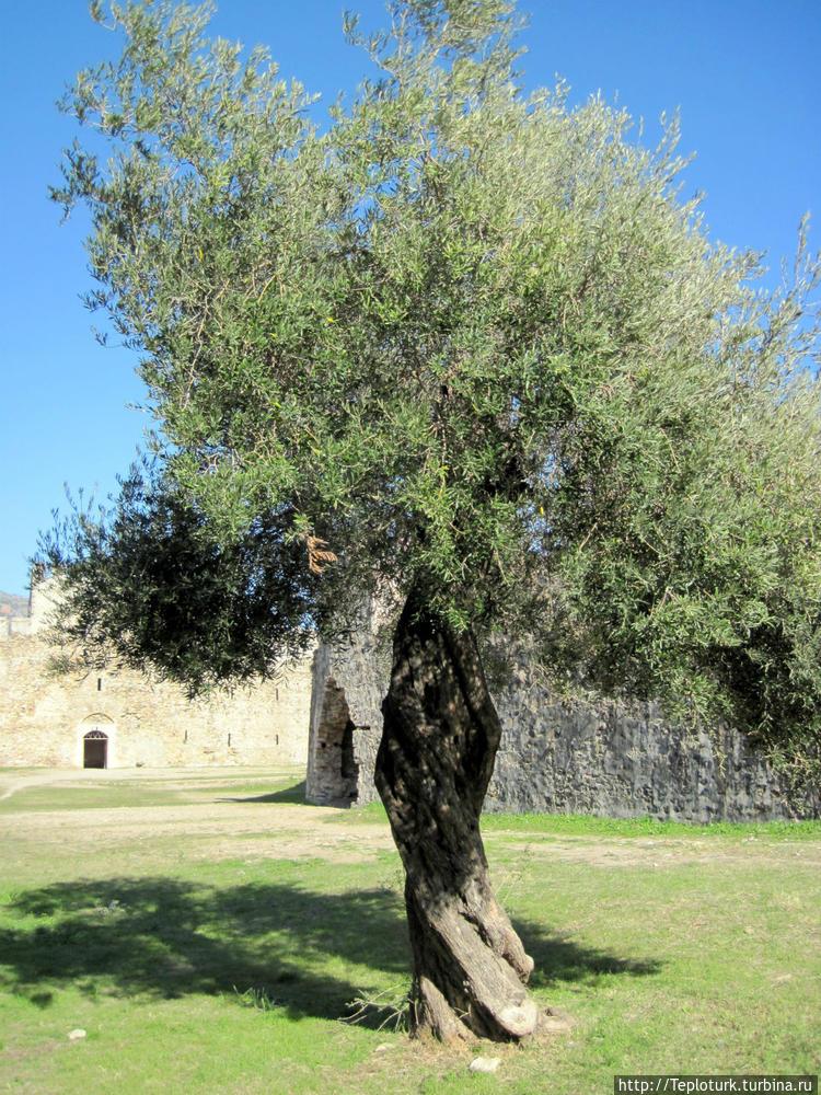 Древняя маслина