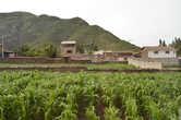 Подрастающая кукуруза — важный элемент местного сельского хозяйства