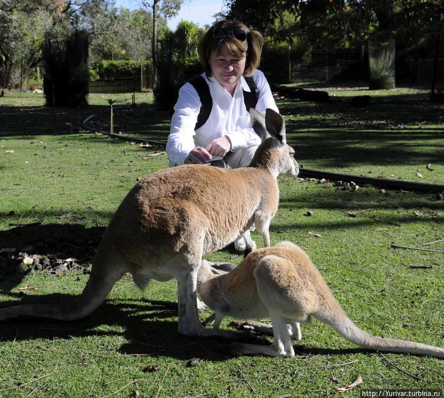В парках кенгуру практически ручные Маргарет-Ривер, Австралия