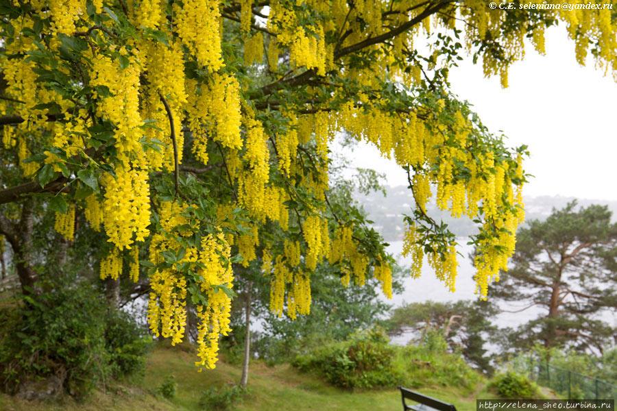 11. Дерево буйно цветёт яркими жёлтыми цветами.