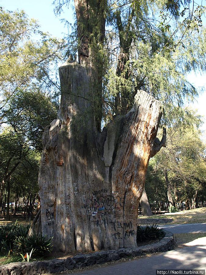 Посмотрите что сделали вандалы с деревом! А оно ведь еще живое!