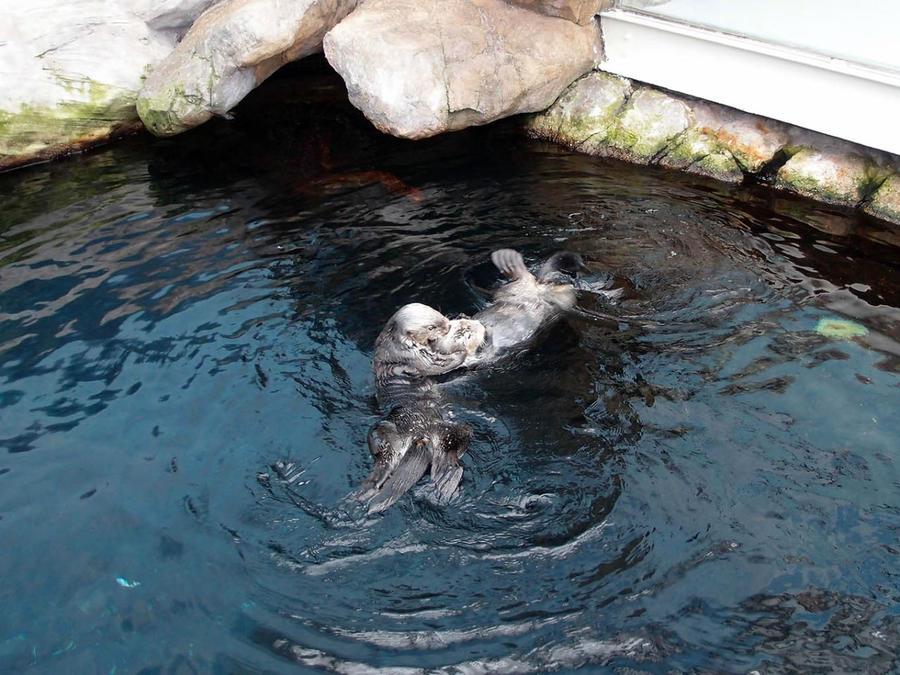 каланы — морские бобры или морские выдры
