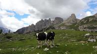В долине парка пасется стадо коров. Они не боятся туристов, привыкли уже, но все же, лучше к ним не лезть со всякими глупыми вопросами. Могут и ткнуть рогами. Докажи потом страховщикам!