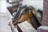 Животных в Египте немного, но все они довольно оригинальные создания. Мы обратили внимание даже на то, что обыкновенные бродячие кошки там другие, не такие , как у нас. У них более вытянутые мордочки. И козы — изящные египтянки... *